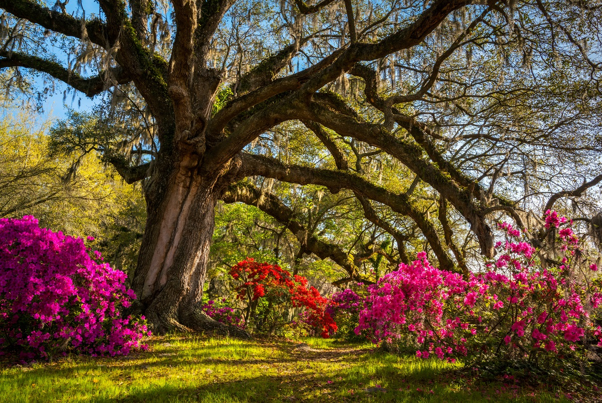Oak tree surrounded by flowers