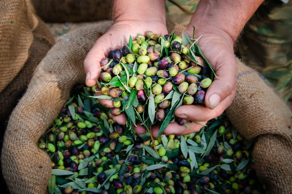 Harvested fresh olives in the hands of farmer